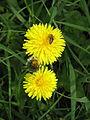 Dandelions with a bee (8981659922).jpg