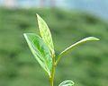 Darjeeling Tea - panoramio.jpg