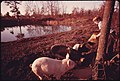 Darrell Gipson, 13, Son of Mr. and Mrs. Wayne Gipson, Who Lives near Gruetli, Tennessee, near Chattanooga, Feeds Pigs after School 12-1974 (3907249568).jpg