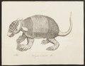 Dasypus unicinctus - 1700-1880 - Print - Iconographia Zoologica - Special Collections University of Amsterdam - UBA01 IZ21000093.tif