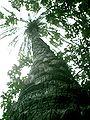 Datíl Planta.JPG