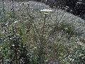 Daucus carota Habitus SierraMadrona.jpg