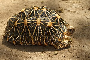 Indian star tortoise - Image: Davidraju IMG 7365