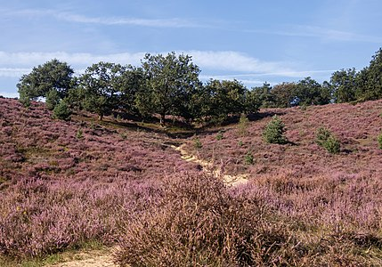 Heather at the Posbank