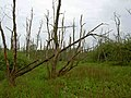 Dead trees in the swamp area near the River Maun - geograph.org.uk - 1320072.jpg
