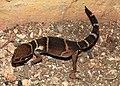 Deccan Banded Gecko Geckoella deccanensis by Dr. Raju Kasambe DSCN7960 (41).jpg
