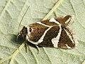 Deltote bankiana - Silver barred - Совка-листовёртка серебристая (41015041092).jpg