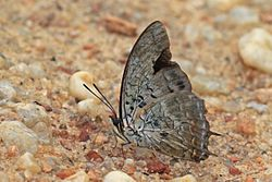 Demon charaxes (Charaxes etheocles carpenteri) male underside.jpg