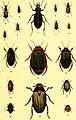 Der Käferfreund. Praktische Unleitung zum Sammeln und Bestimmen der Käfer ((1896)) (20241558953).jpg