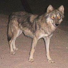 Image of a wolf at night with glowing eyes
