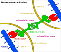 Desmosome - 2.png