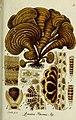 Deutschlands flora in abbildungen nach der natur (1832) (20863278126).jpg