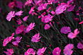 Dianthus-burning-witch-spring-flowers - West Virginia - ForestWander.jpg