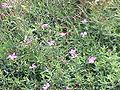 Dianthus deltoides1.jpg