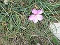 Dianthus sylvestris02.jpg