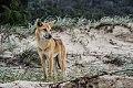 Dingo dune habitat Fraser Island.jpg