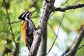 Dinopium javanense, common flameback - Kaeng Krachan National Park (16791066322).jpg