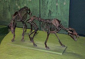 Skelette von C. dirus im Washingtoner National Museum of Natural History