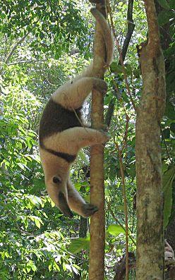 Nördlicher Tamandua im Nationalpark Corcovado in Costa Rica