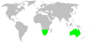 Ammoxenidae family of arachnids