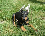 A Doberman Pinscher puppy with its ears taped to train them into the desired shape and carriage after cropping