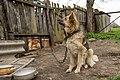 Dog on chain in Ubezhenskaya, Russia.jpg