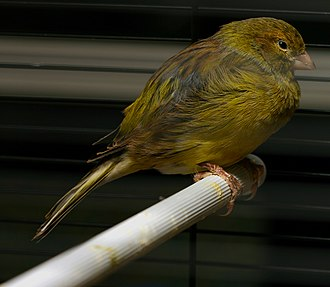 Shades of yellow - Domestic canary