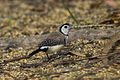 Double-barred Finch - Mareeba Wetlands - Queensland S4E9275 (22197832148).jpg