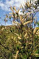 Dracophyllum ramosum (scott.zona).jpg