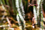 Dragonfly - RSPB Fowlmere (14727523267).jpg