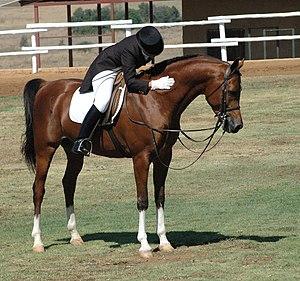 Riding horse - An Arabian, an example of a light riding horse