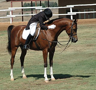 horse used by mounted horse riders for sport, recreation or transportation