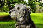 Drew - Irish Wolfhound (20540782194).jpg
