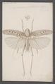 Drymadusa - Print - Iconographia Zoologica - Special Collections University of Amsterdam - UBAINV0274 066 02 0079.tif