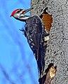 Dryocopus pileatus Bruce's Mill.jpg