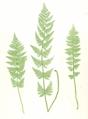 Dryopteris cristata Moore19.png