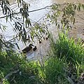 Ducklings in the moat at La Trobe University Bundoora.jpg
