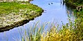 Ducks In The Lake (179461435).jpeg