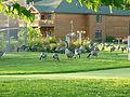 Ducks from Lake Carlos Alexandria Minnesota.JPG