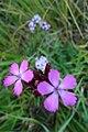 Dyanthus pontederae 04.jpg