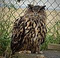 Eagle Owl. Bubo bubo (46576306432).jpg