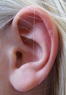 L Clamitans Une oreille humaine