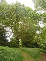 East Howe, large oak in Puck's Dell - geograph.org.uk - 1340502.jpg