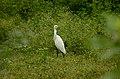 Eastern Cattle Egret (Bubulcus coromandus) from sathanur perambalur JEG2890 .jpg