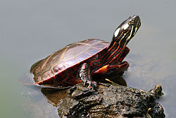 Eastern Painted Turtle (Chrysemys picta picta).jpg