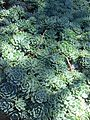 Echeveria elegans (7996981846).jpg