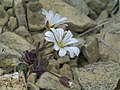 Edmondston chickweed, Unst.jpg