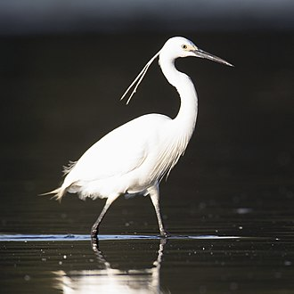 Little egret - E. g. garzetta