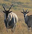 Elands (Taurotragus oryx) male and female ... (32043502540).jpg