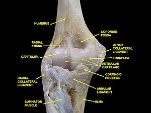 Hyaline cartilage - Image: Elbow joint deep dissection (anterior view, human cadaver)